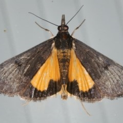 Uresiphita ornithopteralis (Tree Lucerne Moth) at Lilli Pilli, NSW - 31 Mar 2020 by jbromilow50