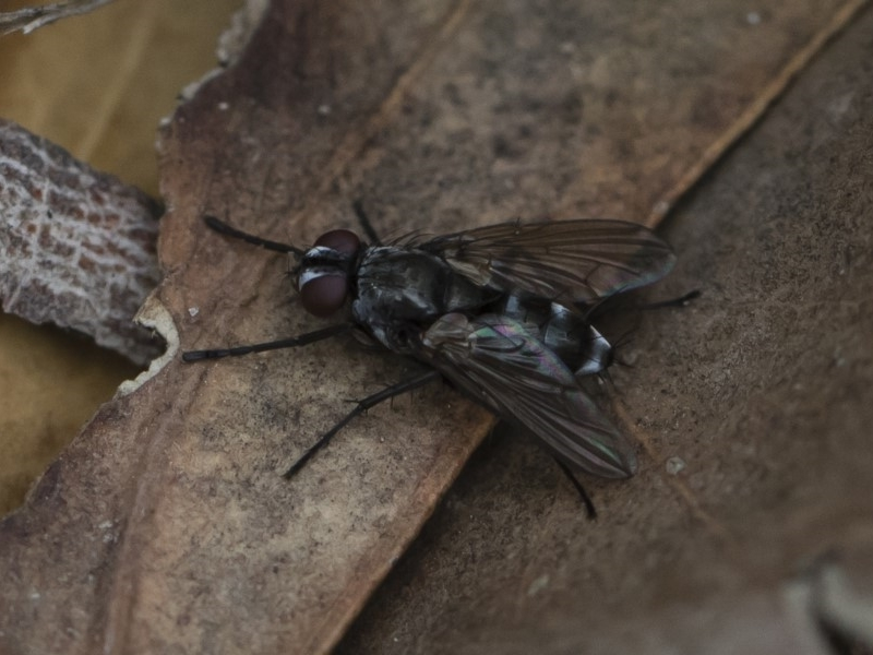 Tachinidae sp. (family) at Illilanga & Baroona - 17 Mar 2019