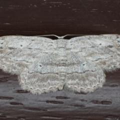 Ectropis excursaria (Common Bark Moth) at Lilli Pilli, NSW - 31 Mar 2020 by jbromilow50