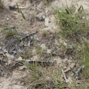 Enneapogon nigricans at Michelago, NSW - 29 Mar 2020