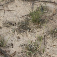 Chloris truncata (Windmill Grass) at Michelago, NSW - 29 Mar 2020 by Illilanga