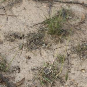 Chloris truncata at Michelago, NSW - 29 Mar 2020