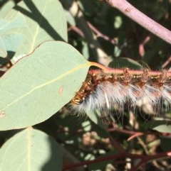 Anthela varia (Hairy Mary) at Jerrabomberra Wetlands - 4 Apr 2020 by JaneR