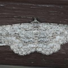 Psilosticha absorpta (Looper moth) at Lilli Pilli, NSW - 31 Mar 2020 by jbromilow50