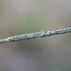 Sporobolus creber (Slender Rat's Tail Grass) at Illilanga & Baroona - 29 Mar 2020 by Illilanga