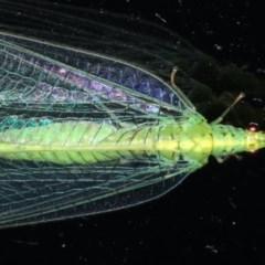 Apertochrysa edwardsi at Lilli Pilli, NSW - 31 Mar 2020