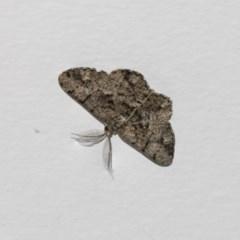 Unplaced externaria (Mahogany Bark Moth) at Higgins, ACT - 13 Feb 2019 by AlisonMilton