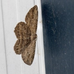 Ectropis excursaria (Common Bark Moth) at Higgins, ACT - 12 Mar 2019 by AlisonMilton