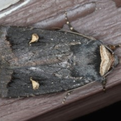 Proteuxoa cinereicollis (A Noctuid moth) at Lilli Pilli, NSW - 31 Mar 2020 by jbromilow50