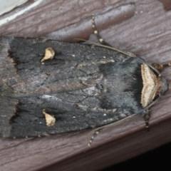 Proteuxoa cinereicollis (A Noctuid moth) at Lilli Pilli, NSW - 31 Mar 2020 by jbromilow50