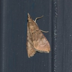 Achyra affinitalis (Cotton Web Spinner) at Higgins, ACT - 31 Mar 2020 by AlisonMilton