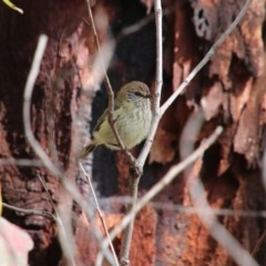 Acanthiza lineata (Striated Thornbill) at Upper Nepean - 24 Oct 2018 by JanHartog
