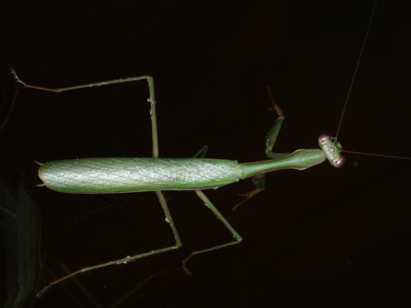 Pseudomantis albofimbriata at Lilli Pilli, NSW - 31 Mar 2020