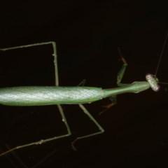 Pseudomantis albofimbriata (False Garden Mantis) at Lilli Pilli, NSW - 31 Mar 2020 by jbromilow50