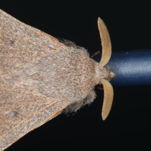 Pararguda crenulata at Lilli Pilli, NSW - 31 Mar 2020