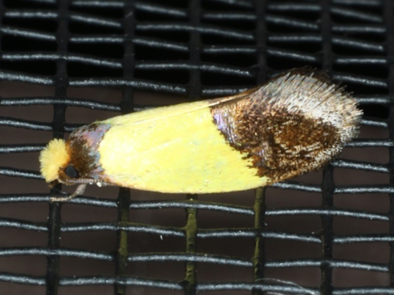 Edosa xystidophora at Lilli Pilli, NSW - 31 Mar 2020