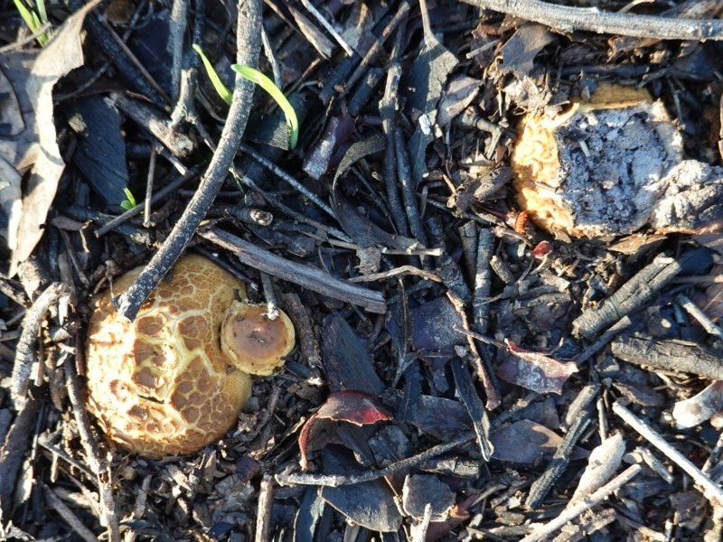 Scleroderma sp. at Red Hill Nature Reserve - 2 Apr 2020