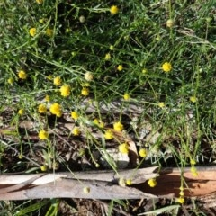 Calotis lappulacea (Yellow burr daisy) at Federal Golf Course - 5 Apr 2020 by JackyF