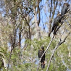 Calyptorhynchus lathami (Glossy Black-Cockatoo) at Mount Jerrabomberra - 4 Apr 2020 by epic