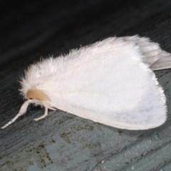 Acyphas sp. (genus) (TBC) at Lilli Pilli, NSW - 31 Mar 2020 by jbromilow50