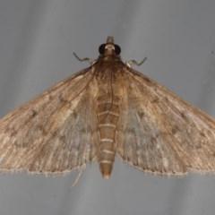 Herpetogramma licarsisalis (Sod Webworm) at Lilli Pilli, NSW - 31 Mar 2020 by jbromilow50