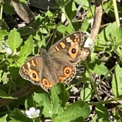 Junonia villida (Meadow Argus) at FS Private Property - 5 Apr 2020 by Stewart
