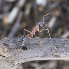 Myrmecia nigriceps (Black-headed bull ant) at Scullin, ACT - 4 Apr 2020 by AlisonMilton