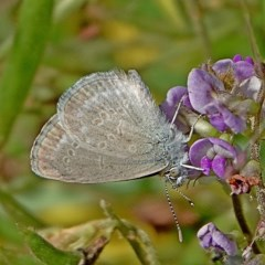 Zizina otis labradus (Common Grass Blue) at Brogo, NSW - 4 Apr 2020 by MaxCampbell