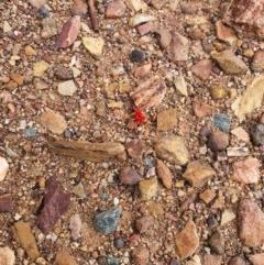 Trombidiidae sp. (family) (Red velvet mite) at Queanbeyan West, NSW - 5 Apr 2020 by Speedsta