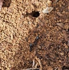 Crematogaster sp. (genus) (Acrobat ant, Cocktail ant) at Queanbeyan West, NSW - 5 Apr 2020 by Speedsta