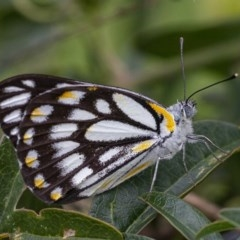 Belenois java (Caper White) at Googong, NSW - 5 Apr 2020 by WHall