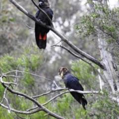 Calyptorhynchus lathami (Glossy Black-Cockatoo) at Mount Jerrabomberra - 5 Apr 2020 by HelenCross