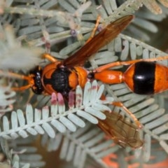 Delta bicinctum (Potter wasp) at West Belconnen Pond - 3 Jan 2010 by Bron