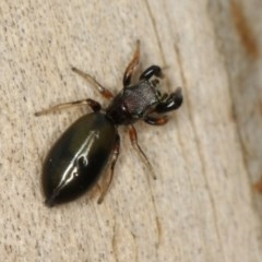 Rhombonotus gracilis (Graceful Ant Mimic) at West Belconnen Pond - 30 Nov 2012 by Bron