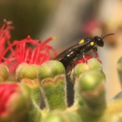 Unidentified Ant / Bee / Wasp (TBC) at Mogo State Forest - 27 Nov 2019 by PeterA