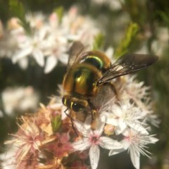 Xylocopa (Lestis) aeratus (Metallic Green Carpenter Bee) at Mogo State Forest - 23 Oct 2019 by PeterA