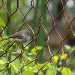 Acanthiza pusilla (Brown Thornbill) at - 1 Apr 2020 by Aussiegall
