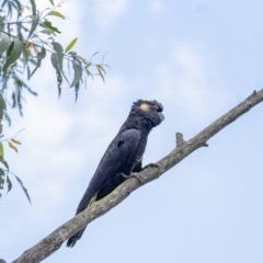 Calyptorhynchus funereus (Yellow-tailed Black-Cockatoo) at Penrose - 1 Apr 2020 by Aussiegall