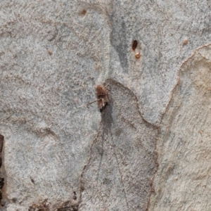 Platybrachys sp. (genus) at ANBG - 10 Mar 2020