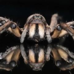 Tasmanicosa godeffroyi (Garden Wolf Spider) at Evatt, ACT - 3 Apr 2020 by TimL
