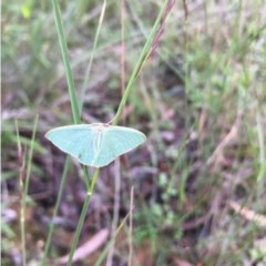 Chlorocoma dichloraria (Doubled-fringed or Guenee's Emerald) at Lower Boro, NSW - 5 Apr 2020 by mcleana