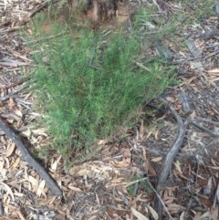 Cassinia sp. at Hughes Grassy Woodland - 6 Apr 2020 by jennyt
