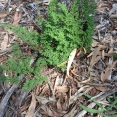 Cheilanthes sieberi (Rock fern) at Hughes Grassy Woodland - 6 Apr 2020 by jennyt
