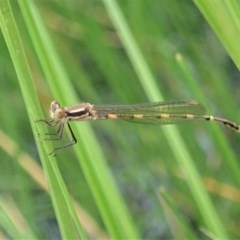 Austrolestes leda (Wandering Ringtail) at Mount Painter - 3 Apr 2020 by CathB