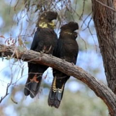 Calyptorhynchus lathami (Glossy Black-Cockatoo) at Karabar, NSW - 6 Apr 2020 by RodDeb