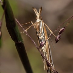 Hednota species near grammellus (Pyralid or snout moth) at Umbagong District Park - 6 Apr 2020 by Roger