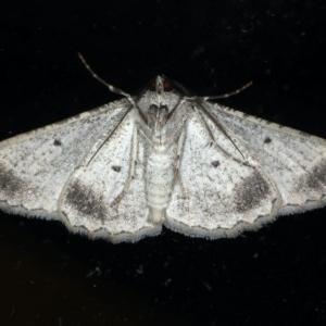 Syneora euboliaria at Ainslie, ACT - 5 Apr 2020