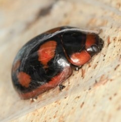 Paropsisterna beata (Eucalyptus leaf beetle) at West Belconnen Pond - 5 Apr 2012 by Bron