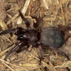 Intruda signata (Ground spider) at West Belconnen Pond - 5 Apr 2012 by Bron