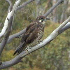 Falco berigora (Brown Falcon) at Rugosa at Yass River - 5 Apr 2020 by SenexRugosus